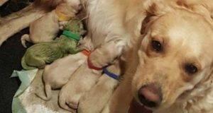 """""""E' nato verde"""": mamma Labrador da alla luce un cucciolo dal pelo verde. La foto fa impazzire il web"""