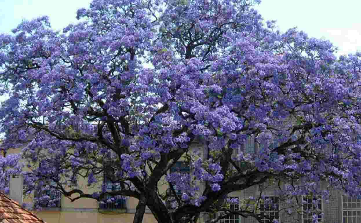L'albero imperatrice, in rapida crescita contro il cambiamento climatico
