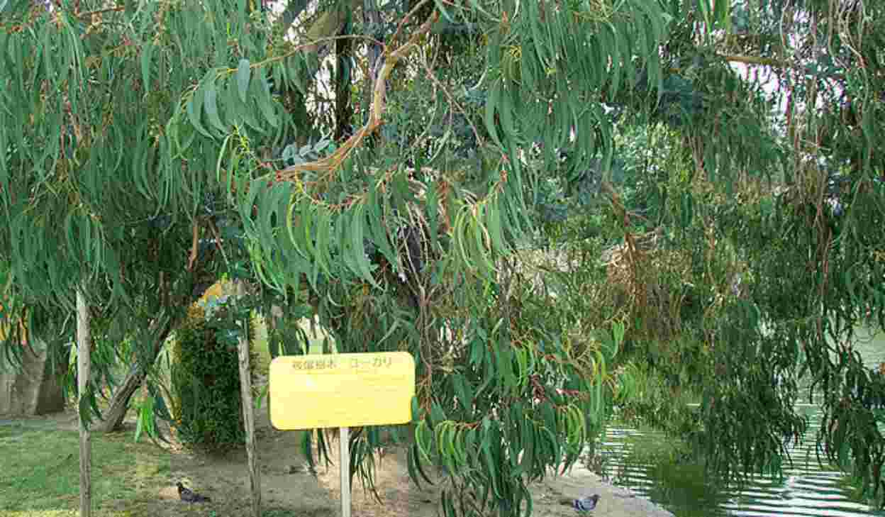 Hibakujumoku, gli alberi sopravvissuti alle atomiche della Seconda Guerra Mondiale
