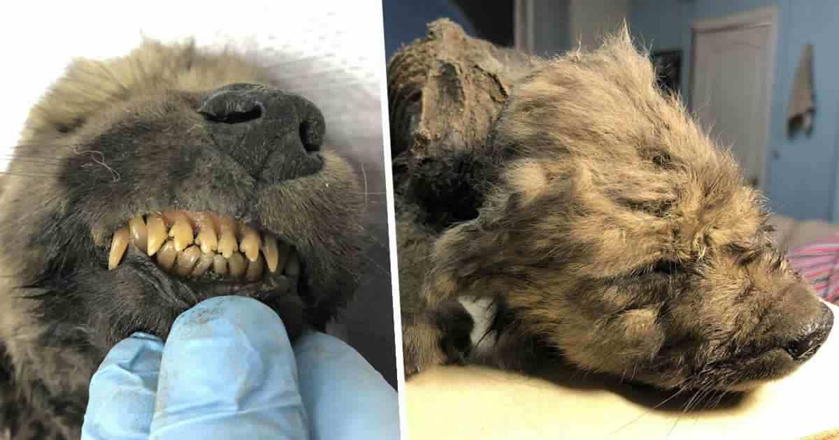 Siberia, trovato un cucciolo di 18.000 anni tra i ghiacci