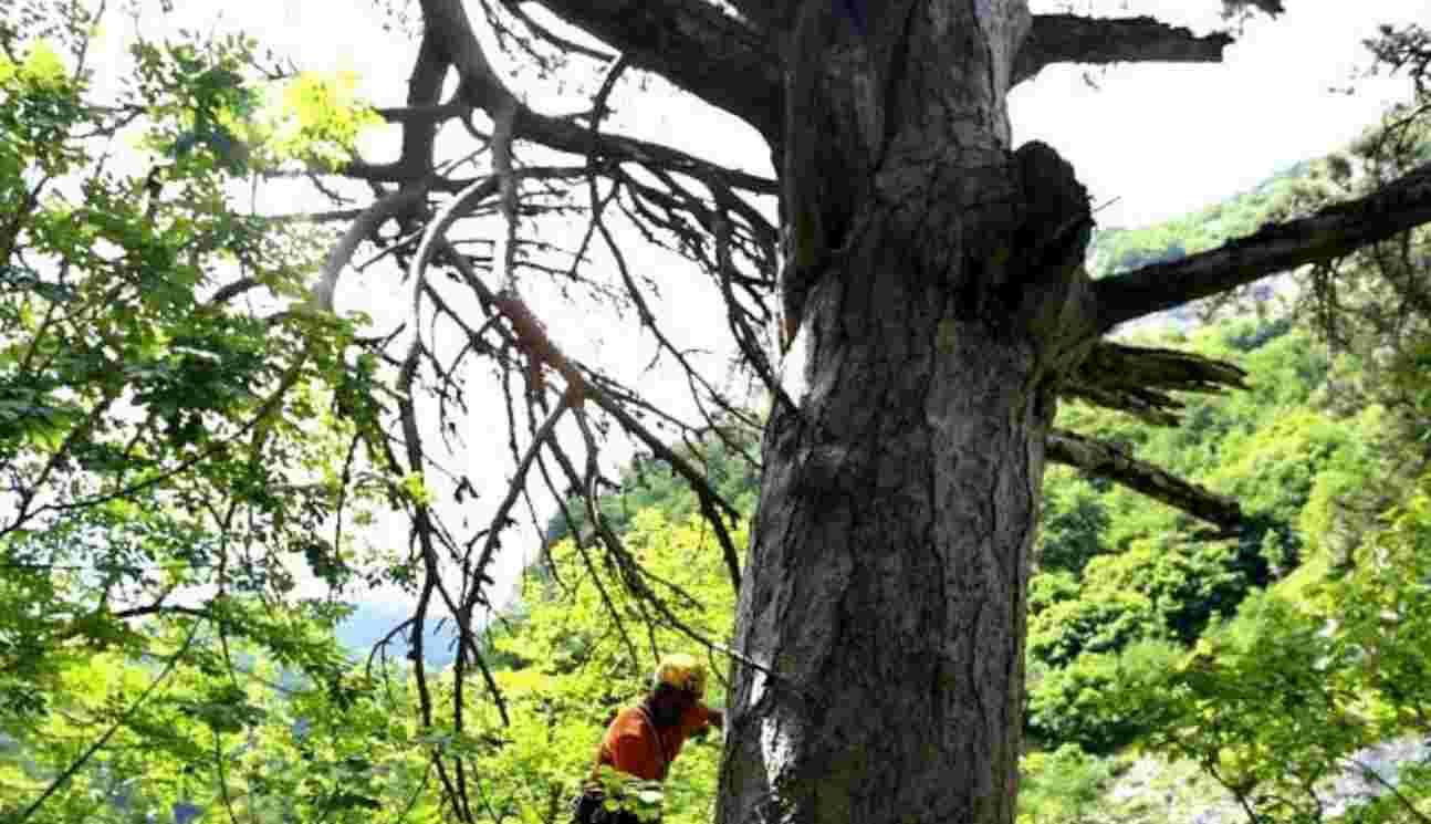 Pino nero in Abruzzo, sopravvissuto 900 anni perché nascosto in un burrone