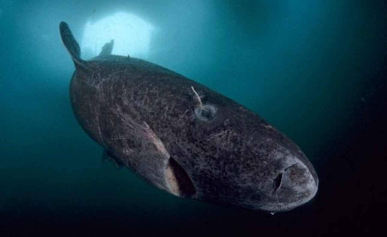Chi è lo squalo della Groenlandia: l'animale che nuota dal 1500 nei nostri mari