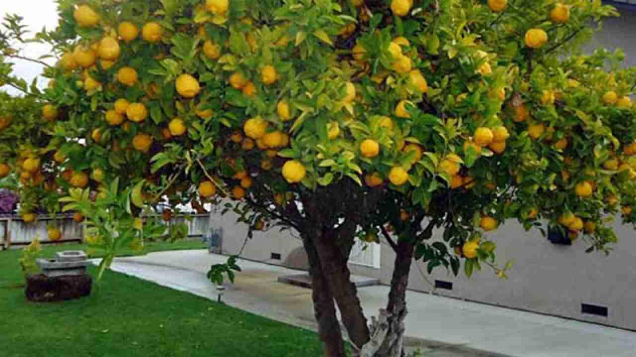 Foto Di Alberi Da Frutto copenaghen, svolta green: pianterà alberi da frutta a