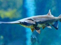 Pesce spatola cinese, la prima specie estinta del 2020: è allarme