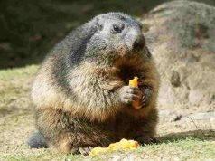 marmotte dello zoo