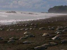 tartarughe nidificano indisturbate