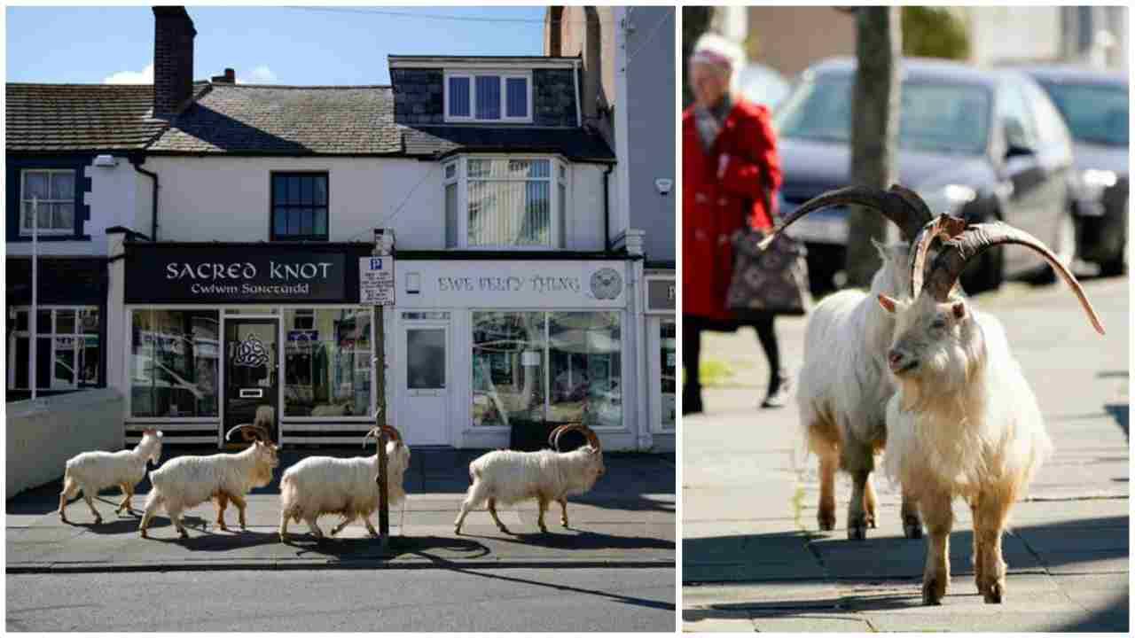 Le capre portafortuna del Galles, invadono le strade della città