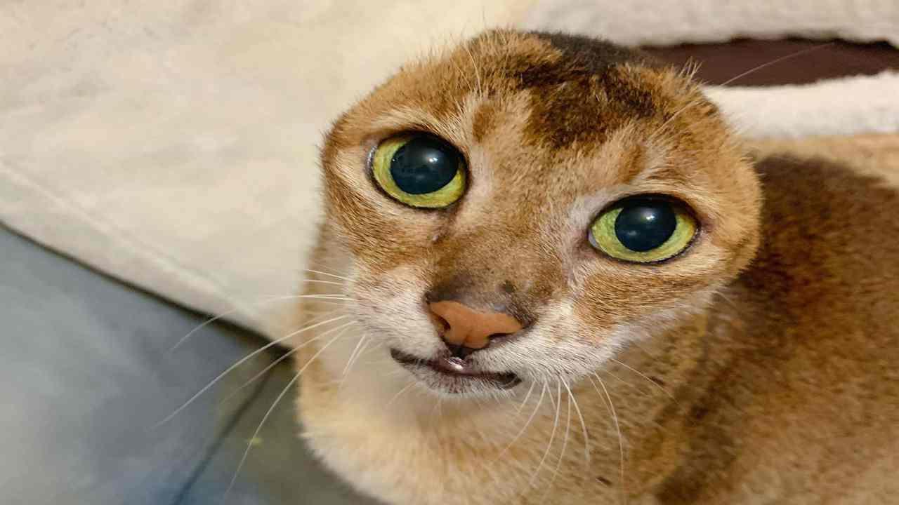 gatto senza orecchie