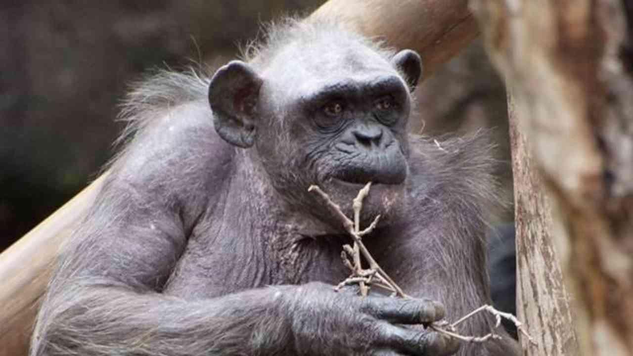 scimpanzè più vecchio del mondo