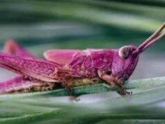 cavallette rosa