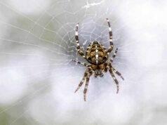 ictus epilessia cura ragno australiano