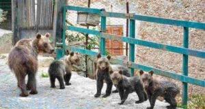 amarena orso cuccioli