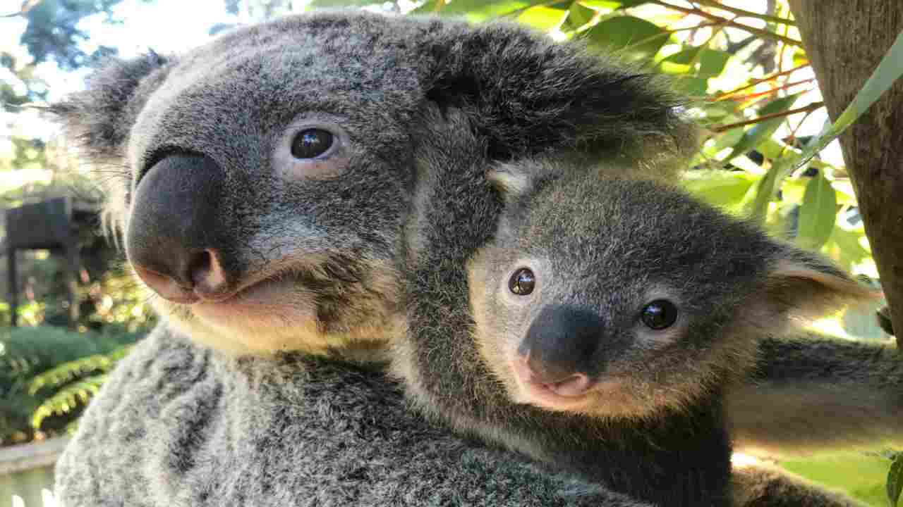 baby koala post incendi