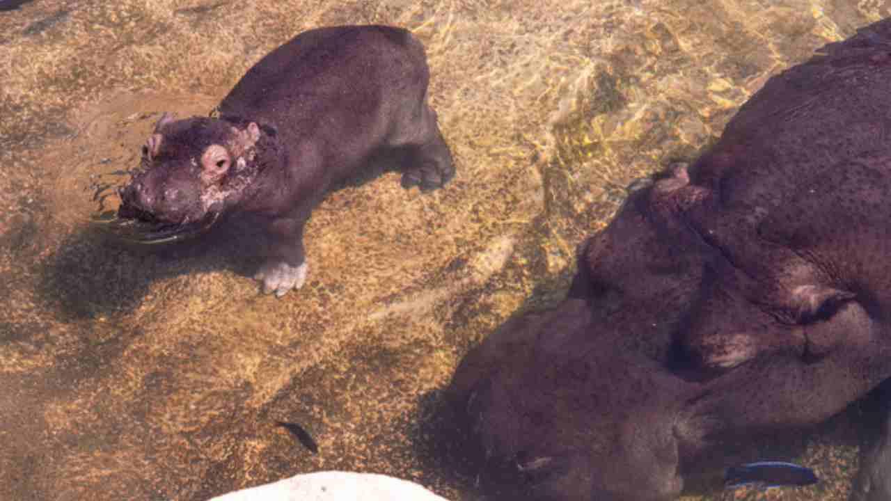 cucciolo ippopotamo