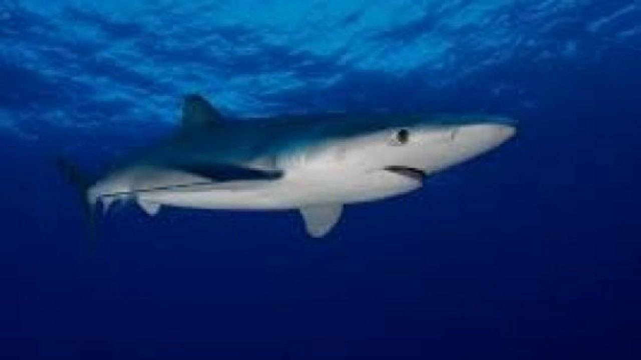 squalo verdesca