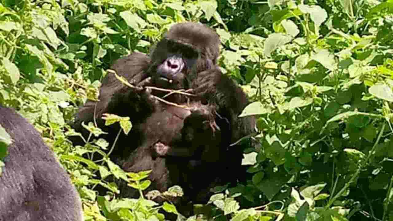 nascite gorilla cuccioli uganda