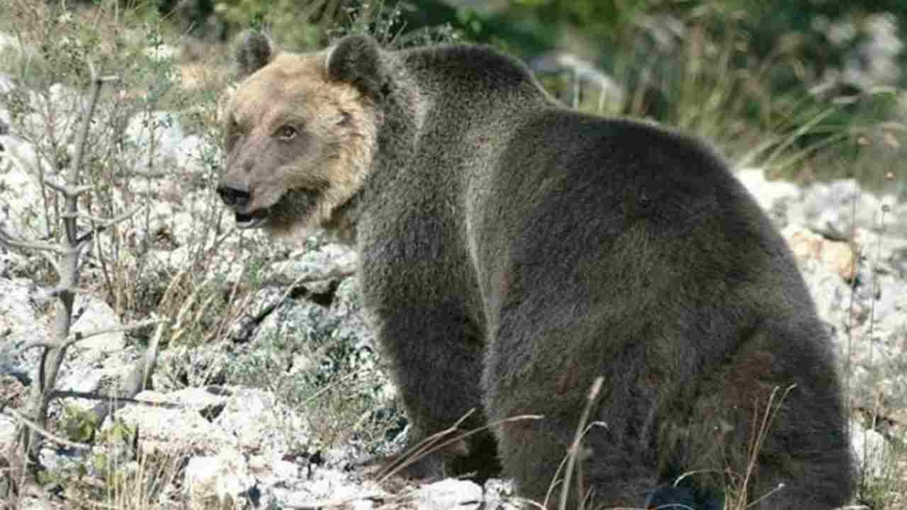 catturato orso m49