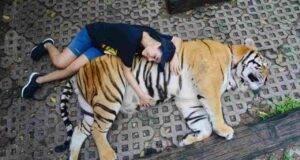 turista testicoli tigre