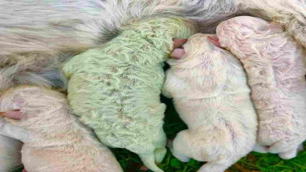 cucciolo di Labrador verde