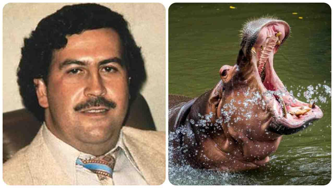 Escobar ippopotami