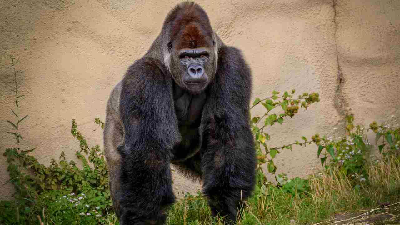 gorilla covid