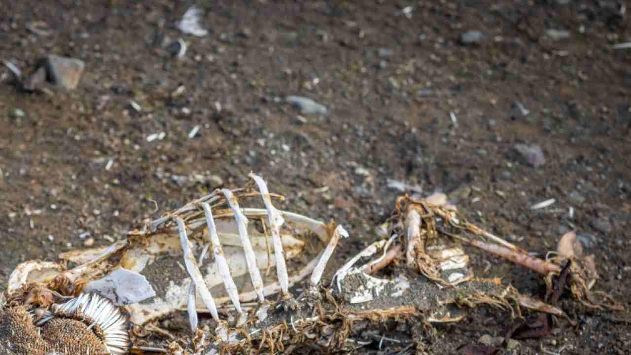 scheletro Latina