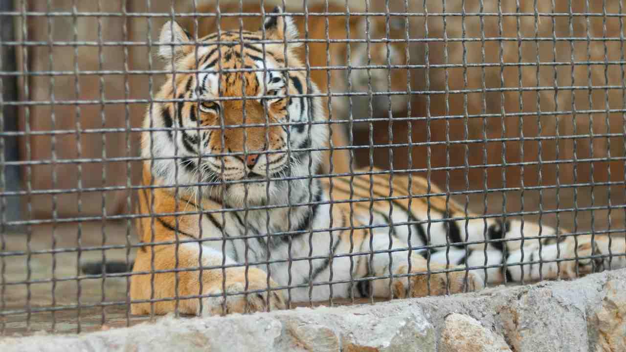 tigre leoni covid